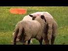 Farm Animals Mating Funny Animal Love .