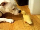 Duck and Dog - 100500 Really Funny Dog Video