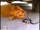 Cat vs  Dangerous Snake
