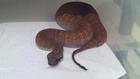 Impressive snake : Northern Death Adder - Caudal Luring