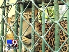 Leopards' bad lifestyle is the leading cause of death, Mumbai - Tv9 Gujarati