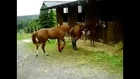 Animals mate brown horses cute at farm Animal funny